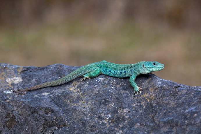 ocellated lizard, Timon lepidus