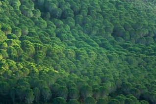 Stone/Umbrella pine forest