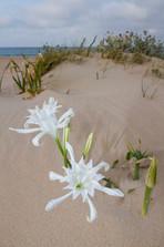 Sea daffodil / Carolina spiderlily, Pancratium maritimum