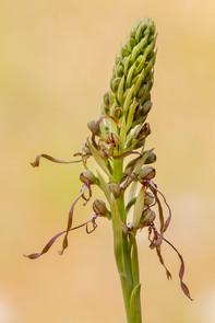 Lizard orchid, Himantoglossum hircinum