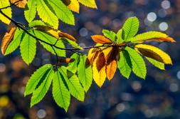 Castanea leaves, Castanea sativa