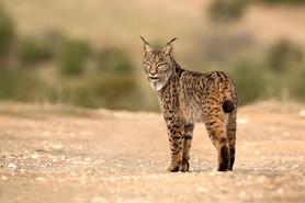 Iberian lynx, Lynx pardinus