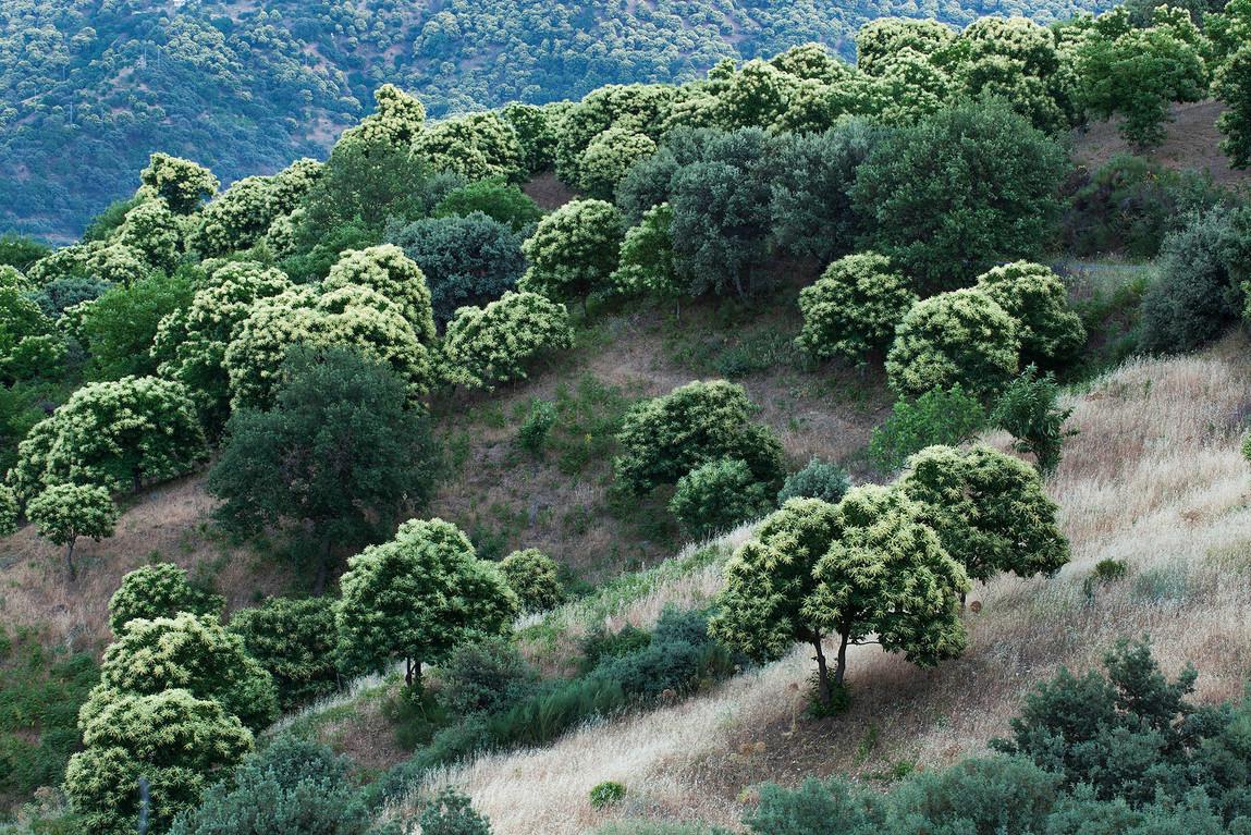 Spanish chestnut trees, Castanea sativa in bloom