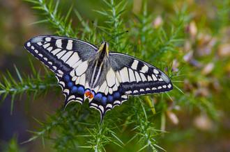 European swallowtail, Papilio machaon