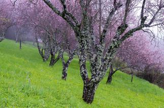 Bitter almond trees in bloom