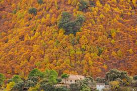 Castanea sativa forest