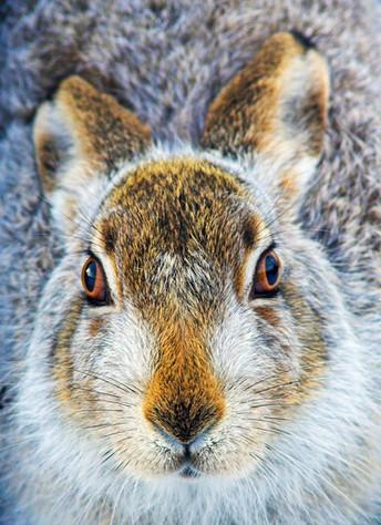 Mountain Hare by Geoff Scott-Simpson.jpg
