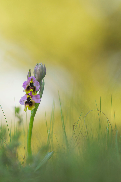 Sawfly orchid, Ophrys tenthredinifera