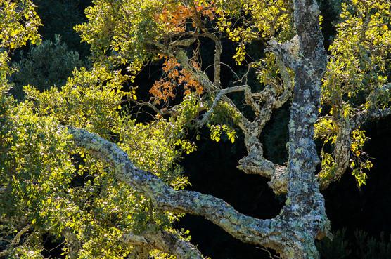 Cork oak autumanl foliage