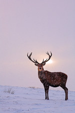 Winter Soilice Stag