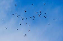 Black kites, Milvus migrans on migration to Africa