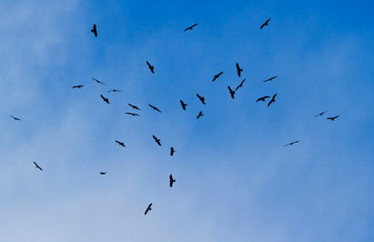 Black kites, Milvus migrans