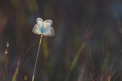 Male Provence Chalkhill Blue, Lysandra hispana basking