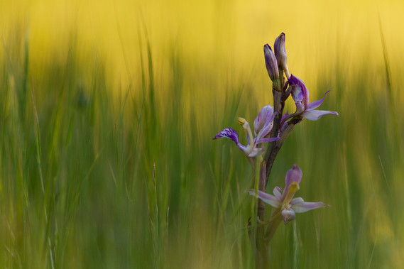 Limodorum abortivum, Violet Limodore