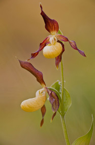 Lady's-slipper orchid blooms.jpg