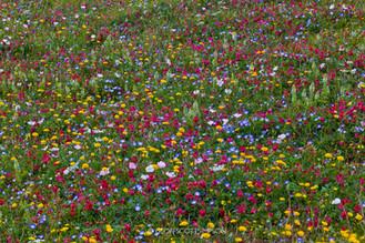 Andalucian wildlflower meadow
