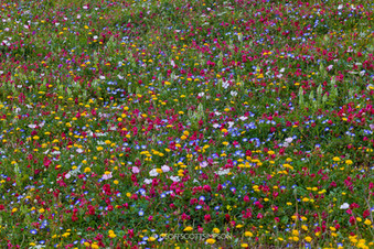 Andalucian wildlflower meadow