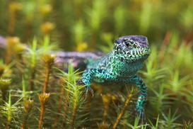 Sand lizard, Lacerta agilis
