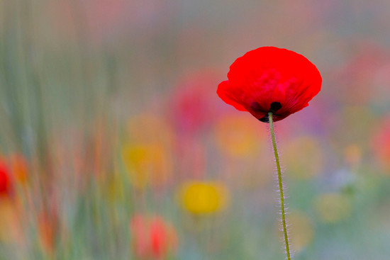 Poppy, Papaver somniferum