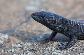 Melanistic Viviparous lizard, Zootoca vivipara