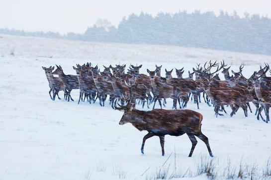 Red deer stag and herd of hinds, Cervus elaphus herding hinds