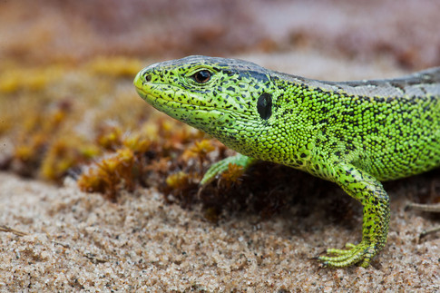 Sand lizard, Lacerta agilis (Northern race)