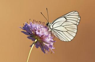 Black-veined White, Aporia crataegi