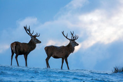 Twin stags