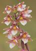 Marsh Helleiborine, Epipactis palustris