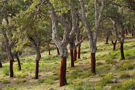 Young cork oak forest