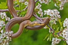 Ascelupian Snake, Zamenis longissimus