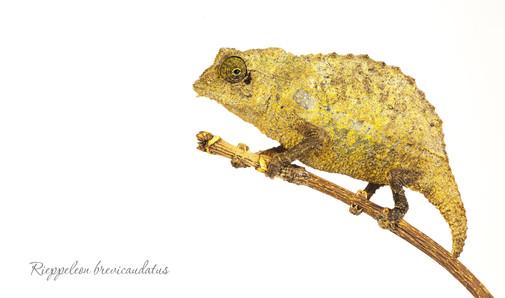 Bearded Pygmy Chameleon, Rhampholeon brevicaudatus