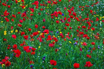 Poppy meadow, Papaver somniferum