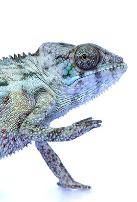 Juvenile male Nosy Be Panther chameleon