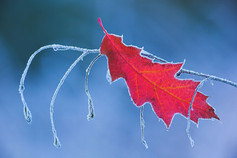 Hoarfrosted Northern Red oak leaf, Quercus rubra