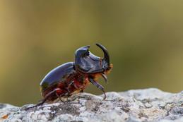 European Rhinoceros Beetle, Oryctes nasicornis
