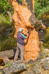 Cork harvest foresters removed cork oak ba