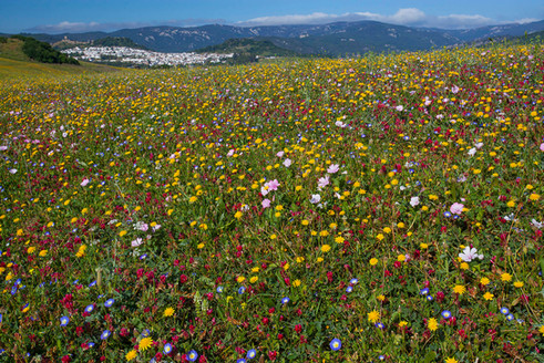 Andalucian wildflower meadow