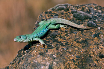 Ocellated lizard, Timon lepidus - Europe's largest lizard species up 90cm in length