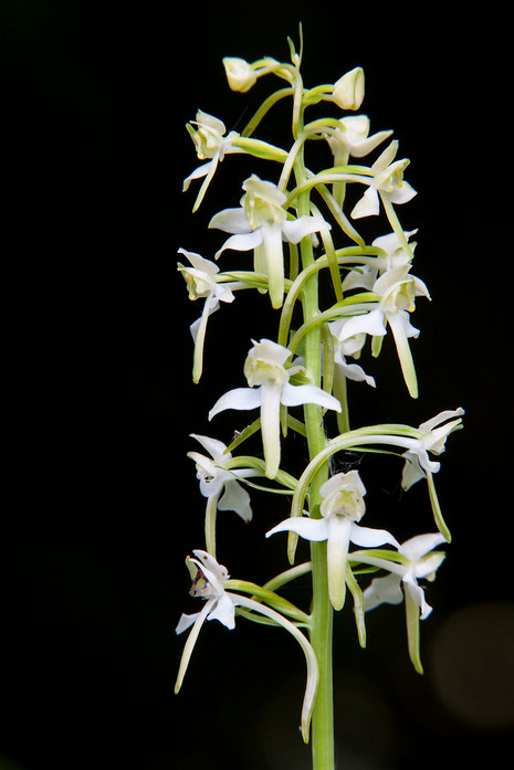 Greater butterfly orchid, Platanthera chlorantha