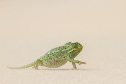 Wix Mediterranean chameleon naviagates s