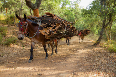 Cork harvest mules along a cork forest track