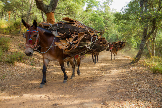 Cork harvest mules along a cork forest track