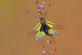 Owl fly, Libelloides coccajus