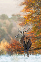 Autumnal stag