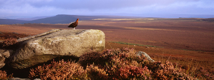 Red grouse (male), Lagopus lagopus scotica surveys his territory.