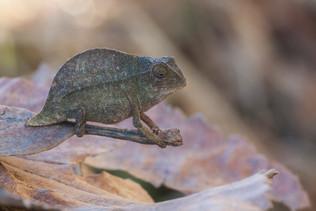 Green pygmy leaf chameleon, Rhampholeon viridis