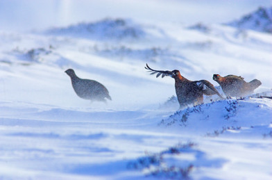 Red grouse, Lagopus lagopus scotica in the depths of a harsh winter
