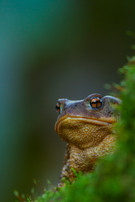 Common toad, Bufo bufo