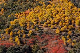 Autumnal Castanea sativa & Suma